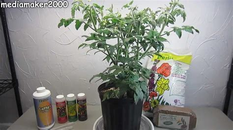 Easy Hydroponic Tomato - No Pumps! Experiment DIY - YouTube